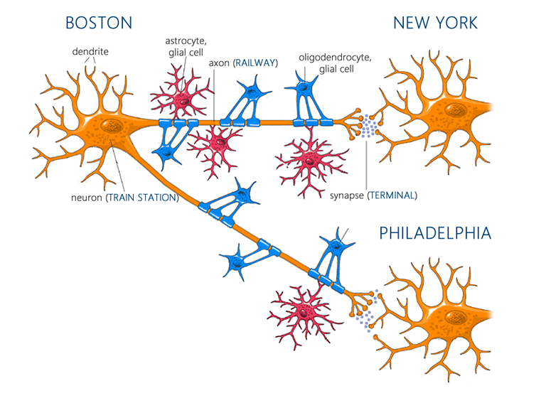 Neurons and glial cells after exercise