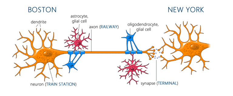 Neurons and glial cells before exercise